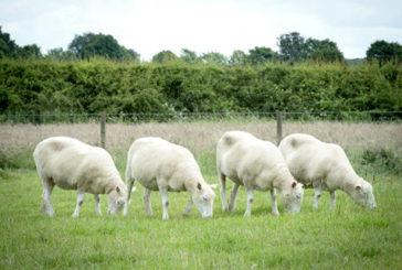 Debbie, Denise, Dianna e Daisy: le 4 eredi della pecora Dolly