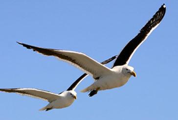 Gli uccelli dormono mentre volano con un occhio aperto