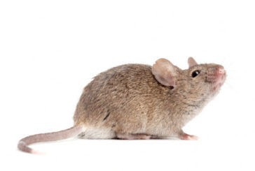 Nati i primi topi senza contatto tra spermatozoo e ovulo