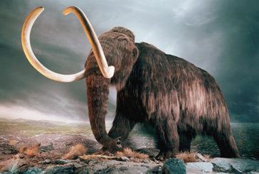 Anche i mammut soffrivano di artrite e dolori articolari