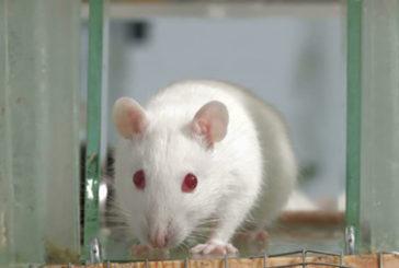 La dipendenza dalla droga può essere ereditata, lo provano i ratti