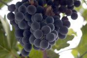 L'estratto di uva può essere efficace contro il cancro al colon