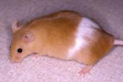 Topi obesi dimagriscono con una sostanza bruciagrassi