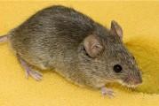Ottenuto il topo che non sente il dolore: riproduce la malattia nell'uomo e aiuta a cercare cure