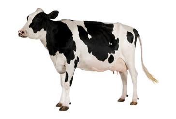 Con il taglia-incolla del Dna 'cancellate' le corna alle mucche