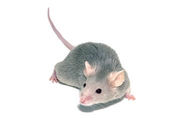 Farmaco anticancro 'cancella' il ritardo mentale nei topi