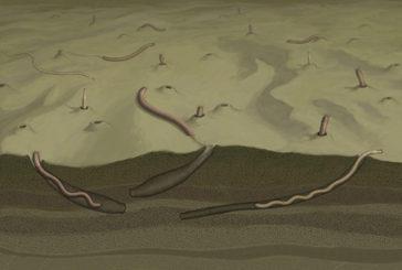 Vermi lunghi 30 centimetri sono più antichi organismi pluricellulari