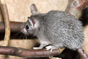 Anche i topi hanno il ciclo mestruale