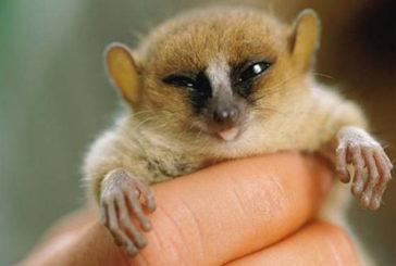 La storia del Madagascar nota grazie al Dna dei lemuri