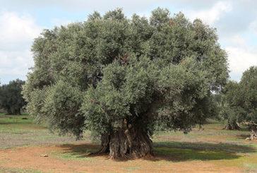 Mappato il Dna dell'ulivo: utile contro la Xylella