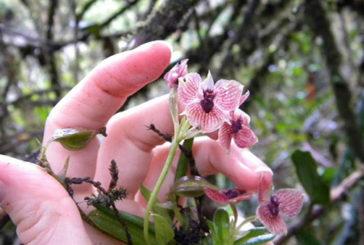 Con il pistillo simile al volto del diavolo scoperta rarissima orchidea