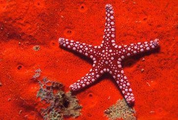 Nel Dna delle stelle marine la storia evolutiva dell'ormone