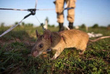 Geni umani per il topo dal super-olfatto che fiuta mine e malattie