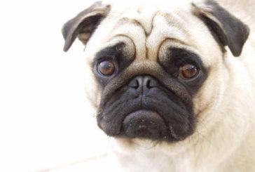 Diminuita la fertilità dei cani maschi