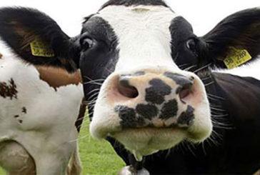 Le proteine della mucca pazza hanno un 'lato buono'