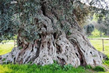 L'abitante più anziano d'Europa ha 1.075 anni, è un pino bosniaco