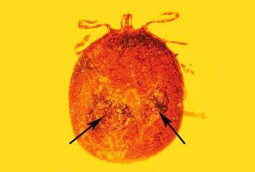 Una goccia di sangue fossile intrappolata nell'ambra