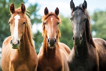 Il Dna dei cavalli modificato nel tempo dall'allevamento