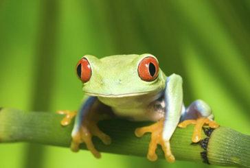 L'evoluzione 'esplosiva' delle rane dopo l'estinzione dei dinosauri
