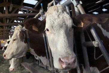 Le mucche insospettabili 'alleate' nella battaglia contro virus Hiv