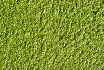 Dalle microalghe possibile estrarre una fonte di sostanze antiossidanti