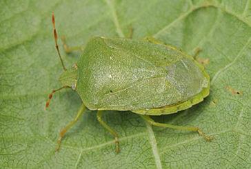 Cimici: insetti fastidiosi ma nessun pericolo per l'uomo