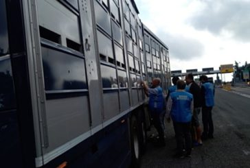 Controlli sul trasporto di animali vivi, operazione congiunta di Asl e Polstrada Chieti