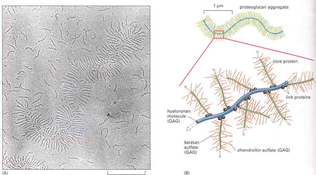 Funzione di stimolante sui fibroblasti  con produzione di collagene, elastina e glucosaminoglicani (GAG)