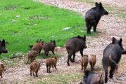 Peste suina africana, domande per la caccia in deroga