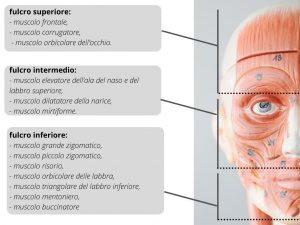 paralisi del VII nervo cranico - divisione in tre fulcri del nervo facciale fig 3